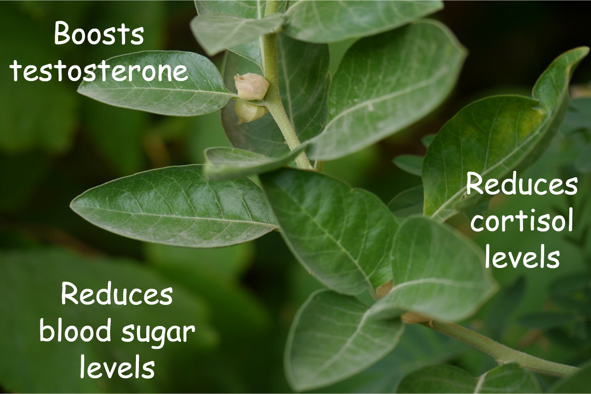 /web-assets/images/ingredients/ashwagandha-benefits.jpg